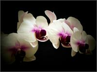 White ANd Lavendar Orchids