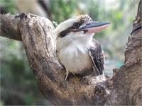 Kookaburra Sits In The Old Gum Treet