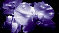 Orchid In Pure Color