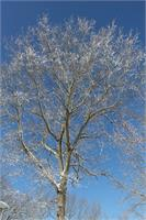 Shimmering Tree As Poster