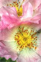 Fine Art Photograph Of Some Pink Wild Rose Flowers