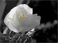 Rosa Blanca 3 As Greeting Card