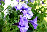 3 Purple Petunias