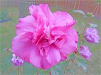 Blooming Fuschia Rose