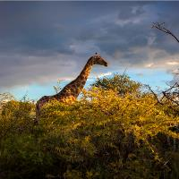 Giraffe At Sunset I