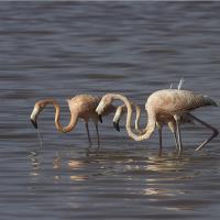 Flamingo Americano