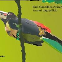 Arasari Piquipálido