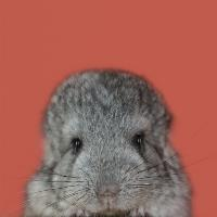 Natural Selection. Baby Chinchilla.
