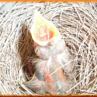 ....baby Robin,  thought I was his mama... woke him up!