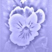 Artistic Pansy