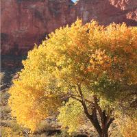 Canyon Oak Tree In Yellow Fall Foliage Photograph Grand Canyon National Park Arizona By Roupen Baker