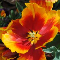 Orange And Red Tulip Surprise