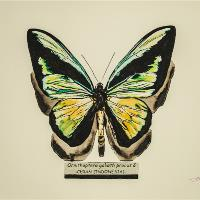 Butterfly Ornithoptera Goliath Procus