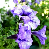 3 Purple Petunias
