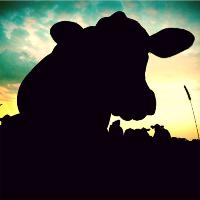 Cow In Evening