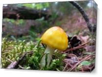 Tiny Yellow Mushroom With Moss As Canvas