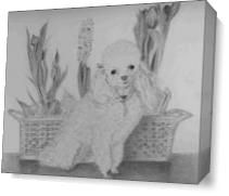 Penny Toy Poodle As Canvas