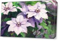 Clematis As Canvas