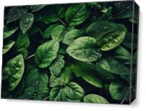 Deep Green Leaves Covered In Water Droplets As Canvas