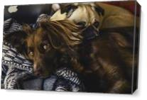 Irish Setter And Pug As Canvas