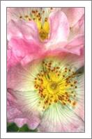Fine Art Photograph Of Some Pink Wild Rose Flowers - No-Wrap