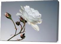 Rosa Blanca - Gallery Wrap