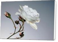 Rosa Blanca - Standard Wrap
