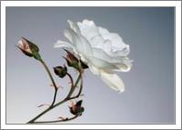 Rosa Blanca - No-Wrap