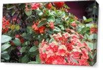 St Kitts,Red,Flowers, As Canvas