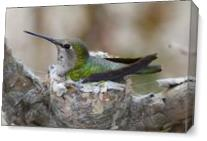 Mother Hummer As Canvas
