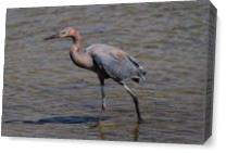 Reddish Egret As Canvas