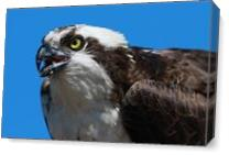 Mighty Osprey As Canvas
