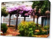 Wisteria In Bloom - Benicia As Canvas