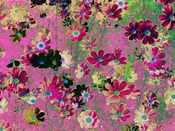Cosmos Garden Flowers