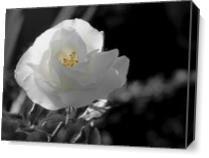 Rosa Blanca 3 As Canvas