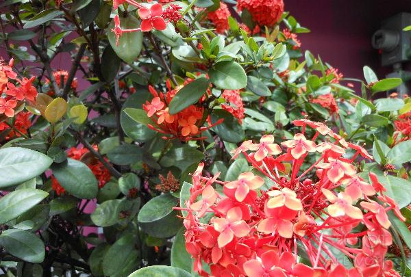 St Kitts,Red,Flowers,