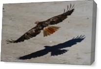 Red Tail Shadow As Canvas