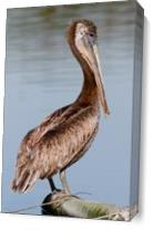 Brown Pelican As Canvas